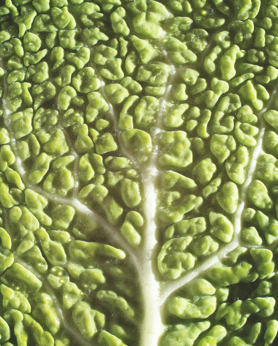 Close up of green cabbage